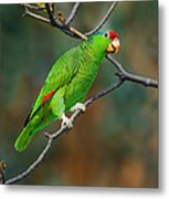 Red-crowned Amazon Metal Print