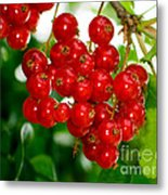 Red Currants Ribes Rubrum Metal Print