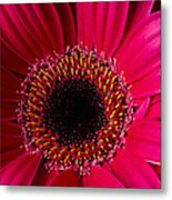 Red Daisy Close Up Metal Print