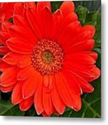 Red Daisy Metal Print by Michael Sokalski