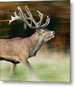 Red Deer Cervus Elaphus Stag Running Metal Print