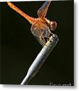 Red Dragonfly On An Antenna Metal Print