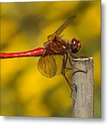 Red Dragonfly Waiting Metal Print
