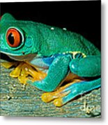 Red Eye Tree Frog Metal Print