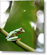 Red Eyed Tree Frog, Agalychnis Metal Print