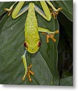 Red-eyed Tree Frog Costa Rica Metal Print