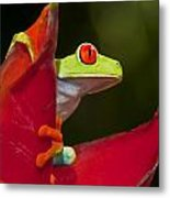 Red Eyed Tree Frog 3 Metal Print