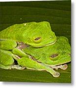 Red-eyed Tree Frogs In Amplexus Sleeping Metal Print