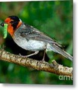 Red-faced Warbler With Caterpillar Metal Print