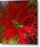 Red Fairy Duster Calliandra Californica Metal Print
