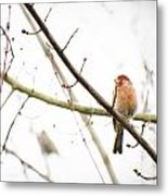 Red Finch In Snow Metal Print