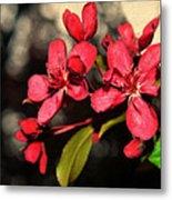 Red Flowering Crabapple Blossoms Metal Print