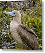 Red-footed Booby Galapagos Islands Metal Print