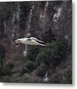 Red Footed Booby In Flight Metal Print