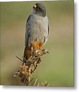 Red Footed Falcon Falco Vespertinus 1 Metal Print