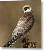 Red Footed Falcon Falco Vespertinus Metal Print