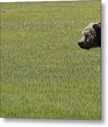 Red Fox  And Grizzly Bear Metal Print