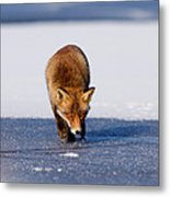 Red Fox Crossing A Frozen Lake Metal Print