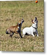 Red Fox Cub And Jack Russell Playing Metal Print by Brian Bevan