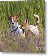Red Fox Cub With Jack Russel Metal Print