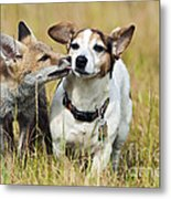 Red Fox Cub With Jack Russell Metal Print