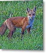 Red Fox In A Field Metal Print