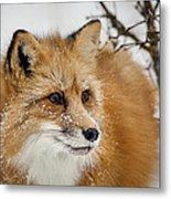 Red Fox In Snow Metal Print