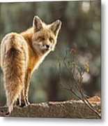 Red Fox In The Sunset Metal Print