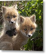 Red Fox Kits Playing Alaska Metal Print