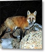 Red Fox - Piercing Eyes Metal Print