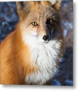 Red Fox Standing Metal Print