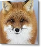 Red Fox Staring At The Camerachurchill Metal Print