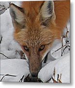 Red Fox Upclose Metal Print