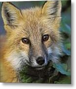 Red Fox Vulpes Vulpes, Gros Morne Metal Print