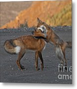 Red Foxes Metal Print