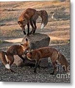 Red Foxes Vulpes Fulva Metal Print