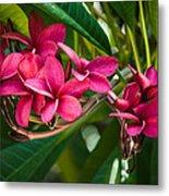 Red Frangipani Flowers Metal Print