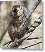 Red-fronted Lemur  Eulemur Rufifrons Metal Print