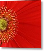 Red Gerber Delight Metal Print