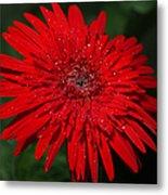 Red Gerbera Daisy Delight Metal Print