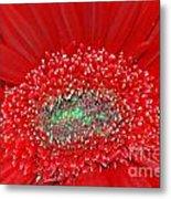 Red Gerbera Flower  Metal Print