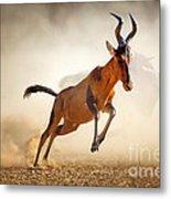 Red Hartebeest Running In Dust Metal Print