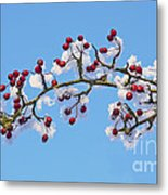Red Haws Frosted By Snow Metal Print