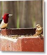 Red-headed Woodpecker Feeding Metal Print