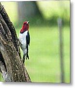 Red Headed Woodpecker Metal Print