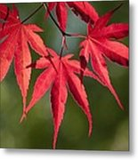 Red Japanese Maple Leafs Metal Print