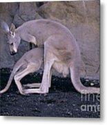 Red Kangaroo. Australia Metal Print