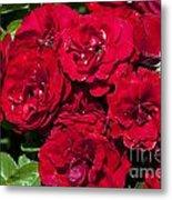 Red Lavaglut Lavaglow Floribunda Roses Metal Print