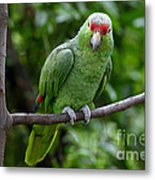 Red-lored Parrot On Branch Metal Print
