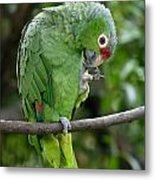 Red-lored Parrot Metal Print